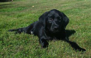 Labradorvalp på gräsmatta